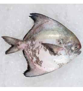Local Chinese Pomfret 300gm+- per fish