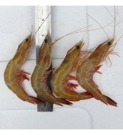 Red Big Prawn L (红大虾) per kg [SEASONAL]