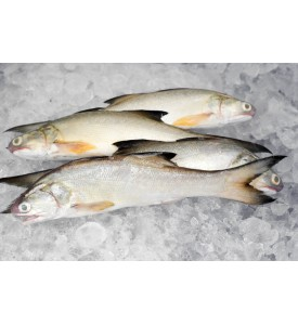 Fourfinger Threadfin / Senangin / Ma Yau (Small) per kg
