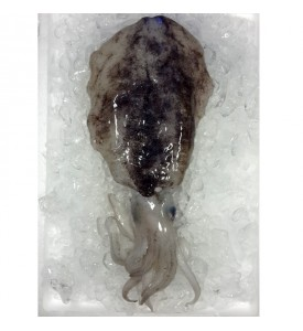 Bigfin Reef Squid / Sotong Mabang (青目) per kg