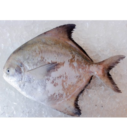 Local Chinese Pomfret 500gm+- per fish