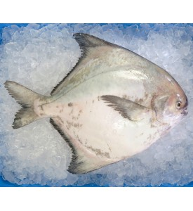 Local Chinese Pomfret (上斗鲳) per kg [LOW SEASON]
