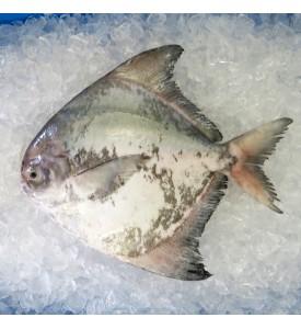 Local Chinese Pomfret 400gm+- per fish [LOW SEASON]