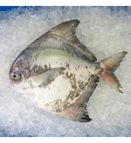 Local Chinese Pomfret 400gm+- per fish [LOW SEASON]