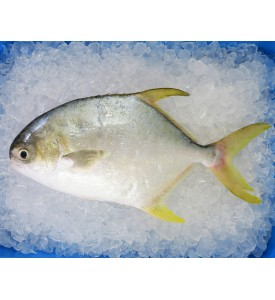 Golden Pomfret (銀鲳) 600gm+- per fish