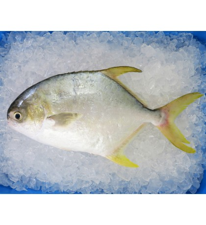 Golden Pomfret (銀鲳) 500gm+- per fish