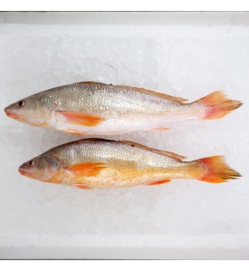 Reeve's Croaker / Gelama China (SEASONAL) per kg