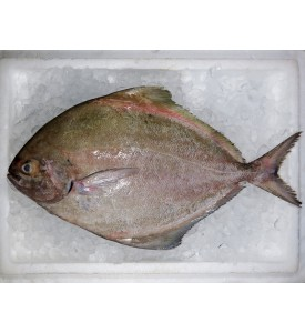 Giant Black Pomfret per kg [SEASONAL]