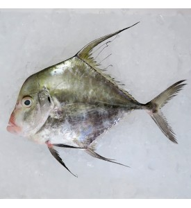 Indian Threadfish / Rambai Sagai per kg