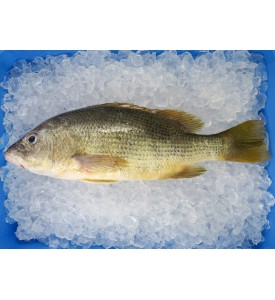 Golden Snapper (红皂) per kg