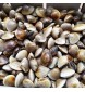 LIVE Hard Shell Clams per kg (SEASONAL)