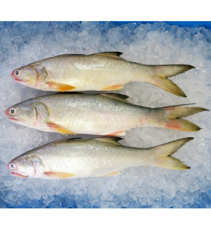 Fourfinger Threadfin / Senangin / Ma Yau (Medium) per kg