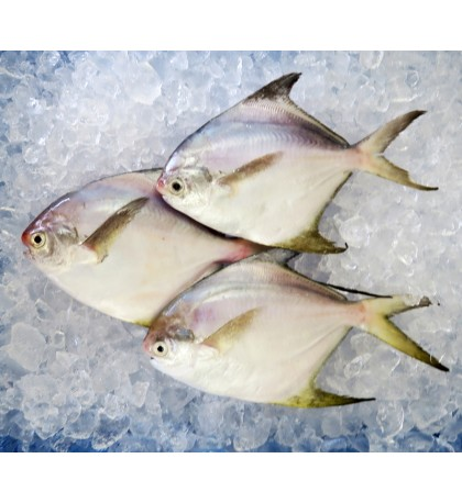 Local White Pomfret (Medium) per kg