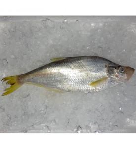 Bigeye Ilisha / Ikan Puput per kg [SEASONAL]