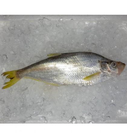 Chinese Herring / Ikan Beliak Mata per kg [SEASONAL]