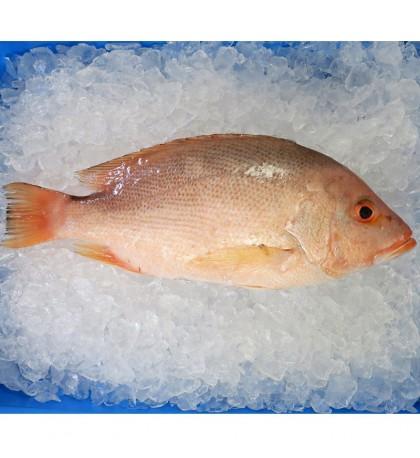 Red Snapper (红鱼) 1kg+- per fish