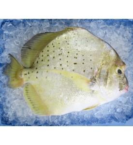 Spotted Sicklefish / Ikan Daun Baharu per kg [SEASONAL]