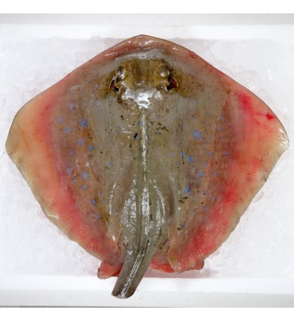 Blue-spotted Sting Ray / Ikan Pari (蒲鱼) per kg [SEASONAL]