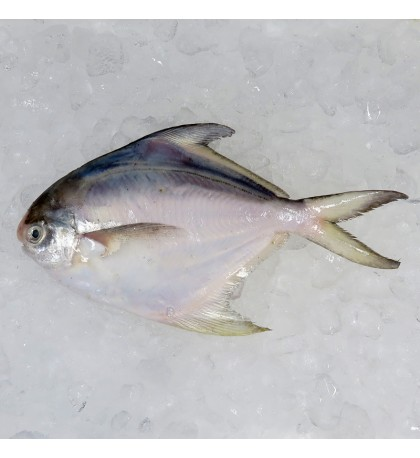 Local White Pomfret (白鲳) 200gm+- per fish